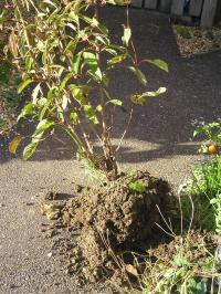 Uprooted shrub