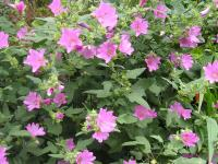 Lavatera Pruning, Care and Growing Tips