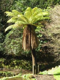 Dicksonia antarctic or tree fern