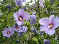 Flight of the 'Bluebird': Hibiscus syriacus