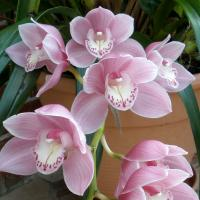 How to Care for Cymbidium Orchids