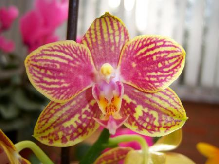 Common Phalaenopsis Orchid