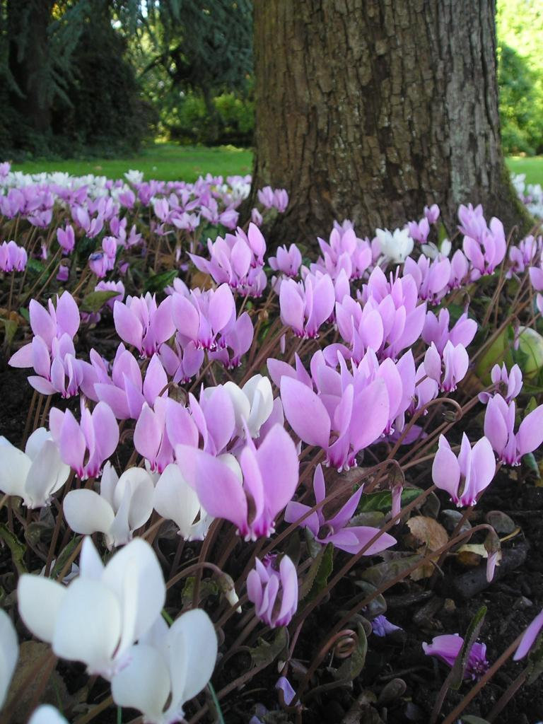 Cyclamen Plant Care Growing Tips Cutting Planting: Bulbs, Corms & Tubers
