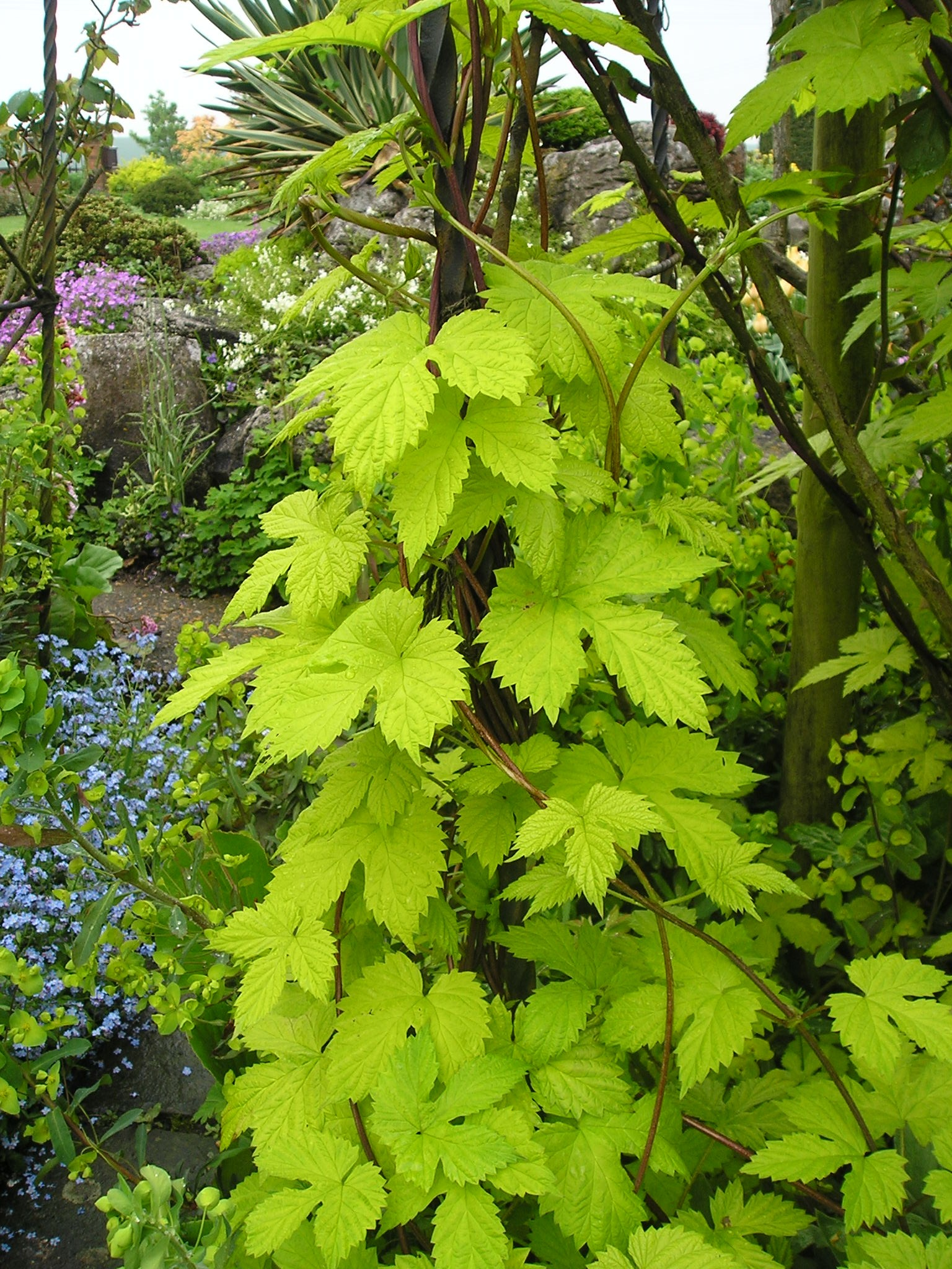 Humulus lupulus 39 aureus 39 garden and plant photos for Garden plant information