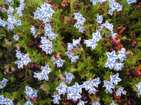 Lithodora diffusa 'Star'