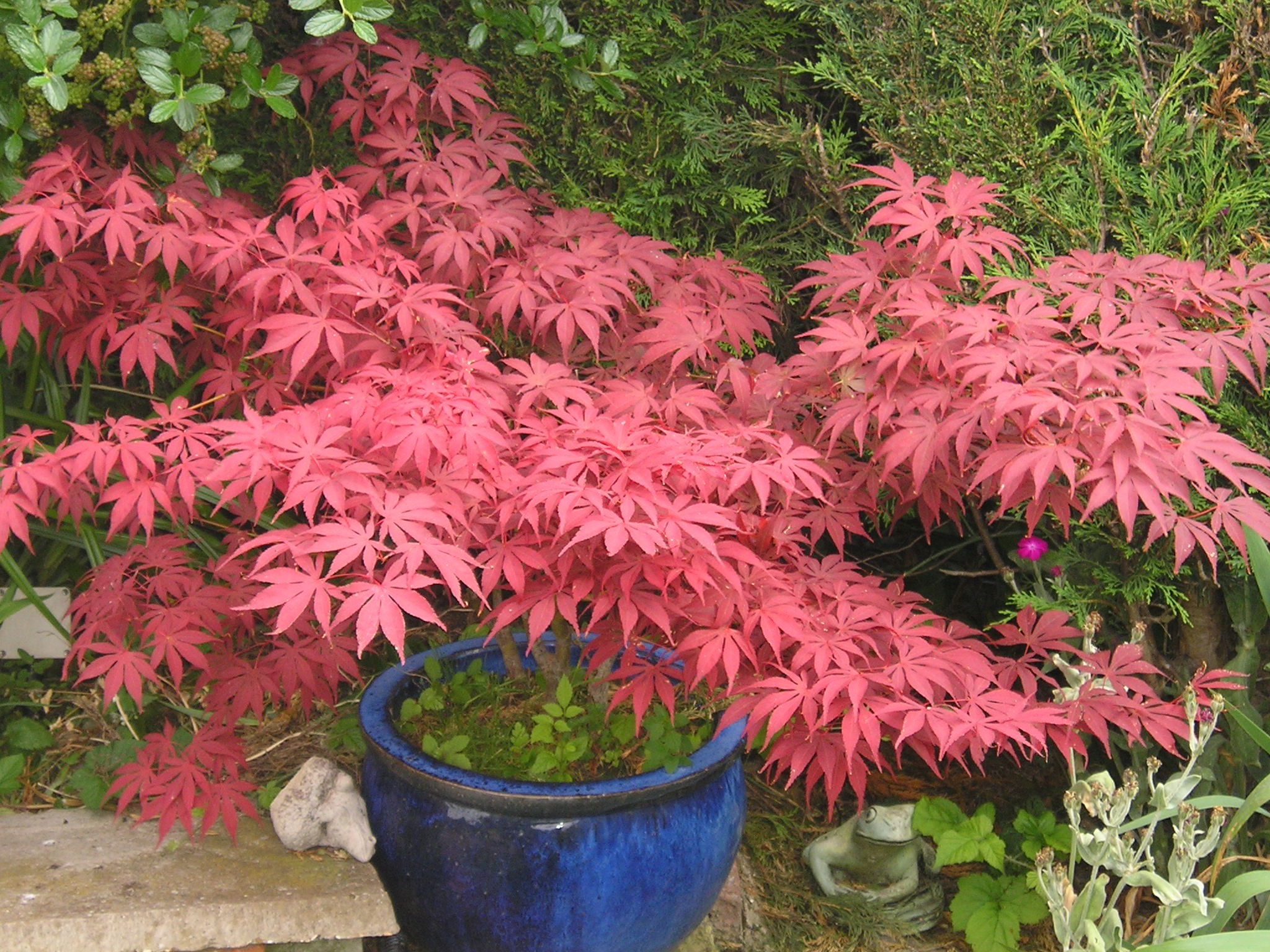 Japanese maple garden and plant photos for Best plants for japanese garden