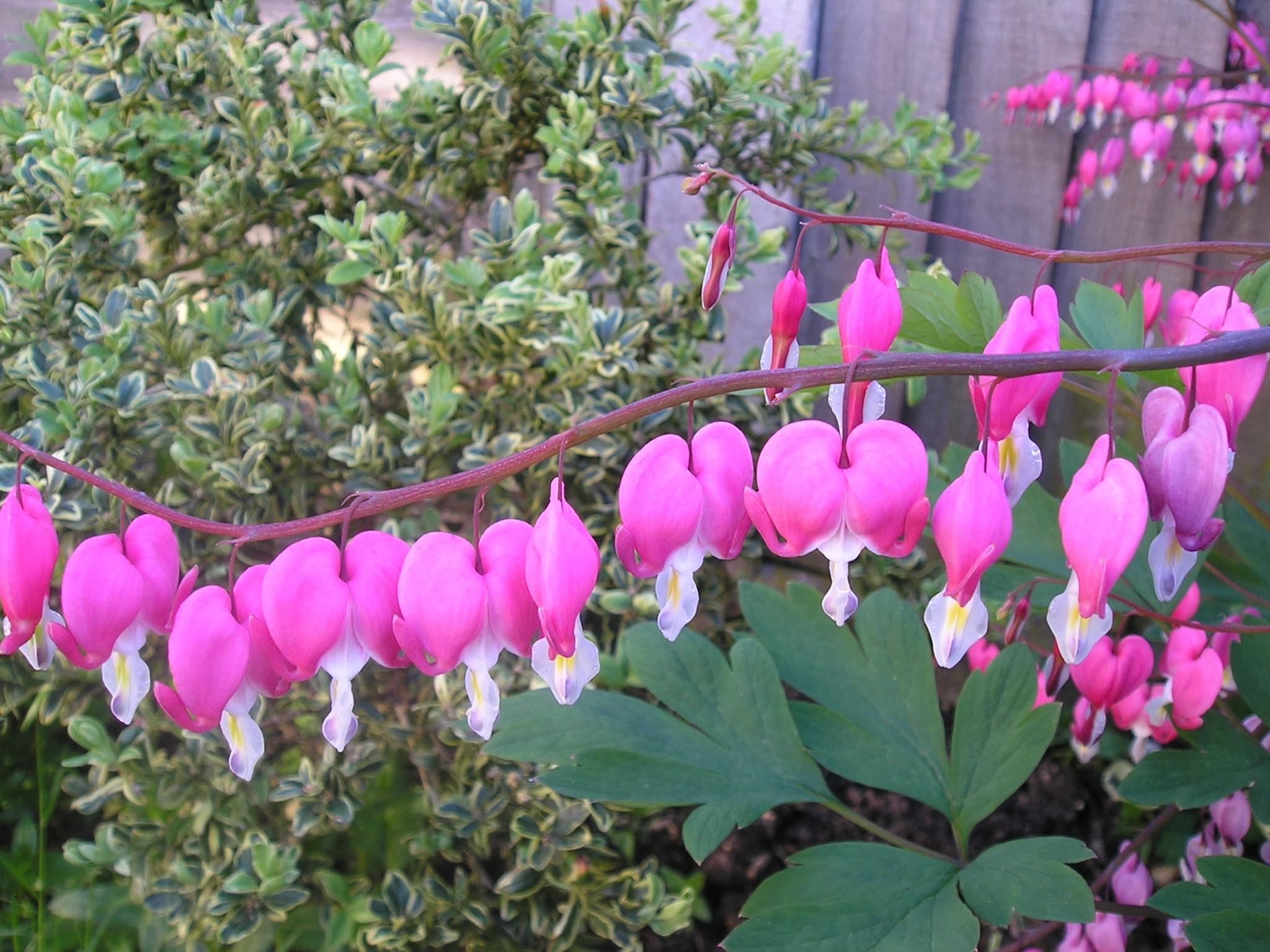 Dicentra Spectablis Bleeding Heart Garden And Plant Photos