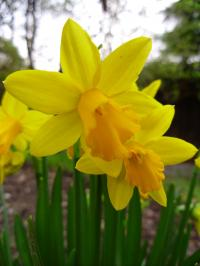 Thinking of Buying Daffodils?