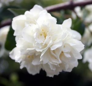 Philadelphus, or Mock Orange