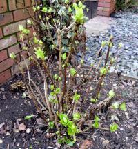 hydrangea pruned