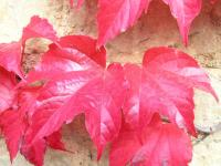 Virginia Creeper - Parthenocissus tricuspidata