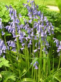English Bluebell - Hyacinthoides non-scripta