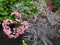 'Black Lace' Elder - Sambucus nigra 'Black Lace'