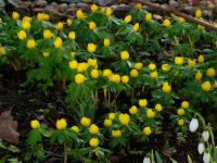 Winter Aconite - Eranthis hyemalis