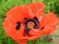 Oriental poppy - Papaver orientale  'Beauty of Livermere'
