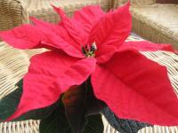 Poinsettia - Euphorbia pulcherrima