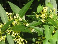 Willow-leaved Jessamine - Cestrum  parqui