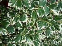 euonymus fortunei silver queen euonymus fortunei silver queen rh plantadvice co uk