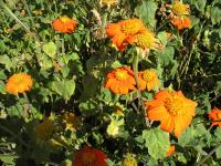 Mexican Sunflower - Tithonia rotundifolia