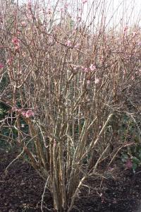 Plant image for Viburnum - Viburnum × bodnantense  'Charles Lamont'