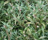 Plant image for Sweet Box - Sarcococca hookeriana var. digyna