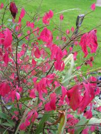 Winged Spindle - Euonymus alatus