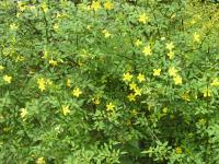 Winter Jasmine - Jasminum  nudiflorum