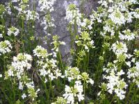 Rock Cress - Arabis procurrens