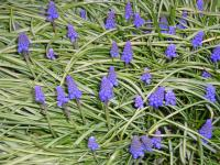 Grape Hyacinth - Muscari armeniacum