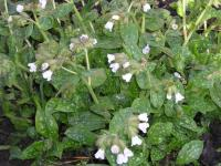 White Lungwort - Pulmonaria officinalis 'Sissinghurst White'