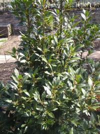 Bay Laurel - Laurus nobilis
