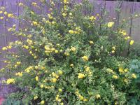 Jew's Mantle - Kerria japonica 'Pleniflora'