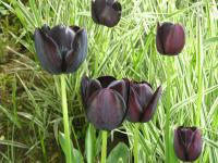 Queen of the Night Tulip - Tulipa  'Queen of night'