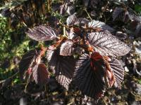 Purple Leaved Filbert - Corylus maxima 'Purpurea'