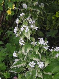 Variegated White Honesty - Lunaria annua 'Alba Variegata'