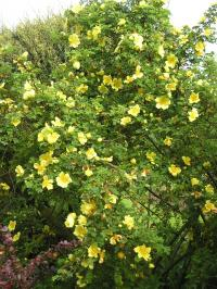 Canary Bird Rose - Rosa xanthina 'Canary Bird'