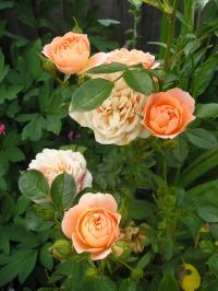 Rose 'Sweet Dream' - Rosa  'Sweet Dream'