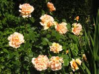 Rose 'Whiskey Mac' - Rosa  'Whiskey Mac'