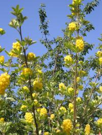 Pineapple Broom - Cytisus battandieri
