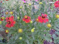 Helenium 'Moerheim Beauty' - Helen's flower