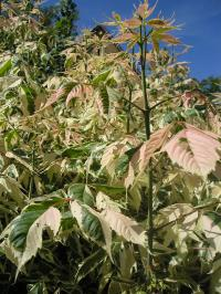 Box Elder - Acer negundo 'Flamingo'