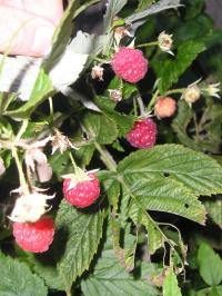 Raspberry 'Autumn Bliss'  - Rubus idaeus 'Autumn Bliss'