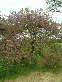 Judas Tree - Cercis siliquastrum