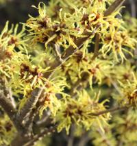 Witch Hazel - Hamamelis × intermedia  'Pallida'