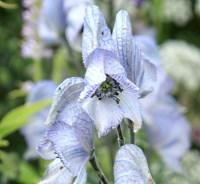 Plant image for Monkshood - Aconitum  'Stainless Steel'