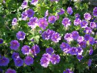 Cranesbill - Geranium  'Johnson's Blue'