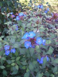 Garden of Aaron: Groundcover Review - Hardy Blue Plumbago ...