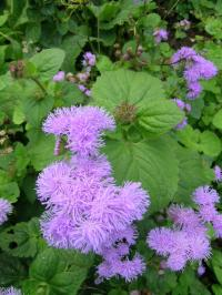 Floss Flower - Ageratum houstonianum