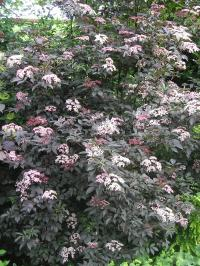 'Black Beauty' Elder - Sambucus nigra 'Black Beauty'