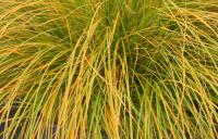 Sedge - Carex testacea